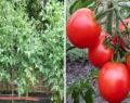 7 geniálních triků na pěstovaní rajčat od zkušeného zahradníka – výsledky mile překvapí!