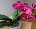 Osvědčený způsob jak úspěšně pěstovat orchidej – pokvete Vám celý rok!